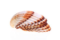 Exotic shell Stock Photography
