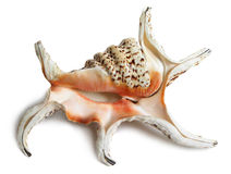 Exotic shell Stock Image