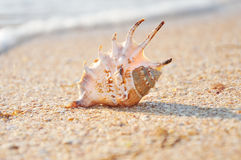 Exotic shell on the beach Stock Image
