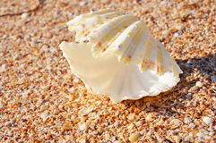 Exotic shell on the beach. With tiny shells Royalty Free Stock Photo