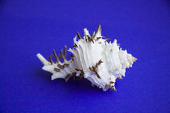 Exotic shell of black sea Royalty Free Stock Photos