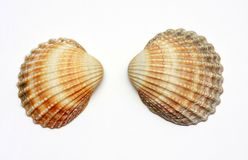 Exotic shells Royalty Free Stock Image