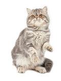 Exotic short-haired kitten. Royalty Free Stock Photos