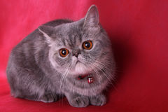 Exotic Shorthair Royalty Free Stock Photography