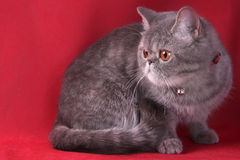 Exotic Shorthair Stock Images