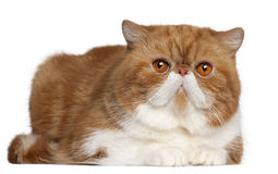 Exotic Shorthair cat, 2 and a half years old. Lying in front of white background stock images