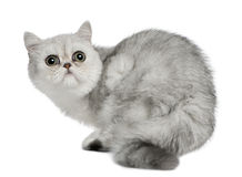 Exotic Shorthair cat, 5 months old, sitting. In front of white background and looking up stock photo