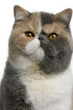 Exotic shorthair cat, 8 months old. In front of white background stock images
