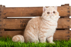 Exotic shorthair cat. beautiful cat in a box. royalty free stock photo