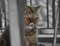 Exotic shorthair cat. Sad and worried cat outdoor. stock image