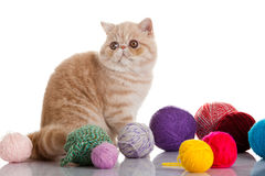 Exotic shorthair cat. Cat with balls of threads Royalty Free Stock Image
