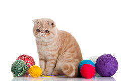 Exotic shorthair cat.  Cat Royalty Free Stock Images