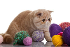 Exotic shorthair cat.  Cat Royalty Free Stock Photos
