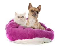 Exotic shorthair cat and chihuahua Royalty Free Stock Images