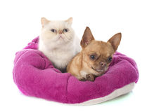 Exotic shorthair cat and chihuahua Stock Photos