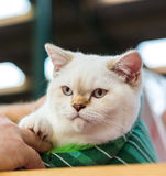Exotic Shorthair cat. Exotic Shorthair (colourpoint) cat enjoying company of his owner Stock Image