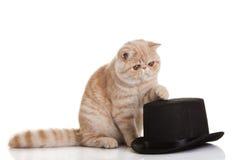 Exotic shorthair cat. Cute tabby Stock Photo