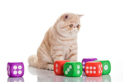 Exotic shorthair cat. Cute tabby. Exotic shorthair cat.Cute tabby kitten playing on white background Stock Image