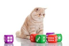 Exotic shorthair cat. Cute tabby Stock Image