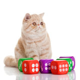 Exotic shorthair cat. Cute tabby. Exotic shorthair cat.Cute tabby kitten playing on white background Stock Images