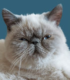 Exotic Shorthair cat on a dark blue background Royalty Free Stock Photos