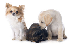 Exotic shorthair cat and dogs. In front of white background stock photo