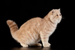 Exotic shorthair cat. Exotic domestic cat on black background stock image