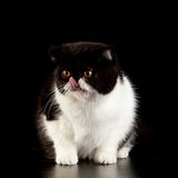 Exotic shorthair cat. Royalty Free Stock Photos