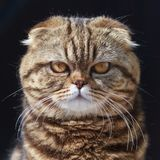 Exotic shorthair cat. On a black background royalty free stock images