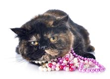 Exotic shorthair cat. With pearl collar in front of white background royalty free stock photography