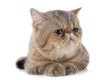 Exotic shorthair Stock Image