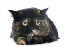Exotic shorthair cat. In front of white background royalty free stock images