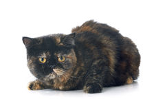 Exotic shorthair cat. In front of white background royalty free stock photos