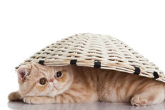 Exotic shorthair cat. Funny playful cat Royalty Free Stock Images