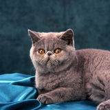 Exotic shorthair cat Royalty Free Stock Photo