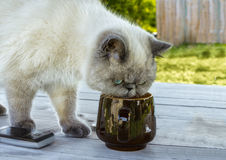 Exotic shorthair cat investigates a cup. Stock Photo