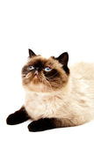 Exotic Shorthair Cat isolated on white Royalty Free Stock Image