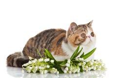 Exotic shorthair cat. Royalty Free Stock Photo