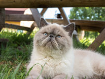 Exotic Shorthair cat on nature. Beautiful exotic shorthair cat lying in the grass on nature stock photos