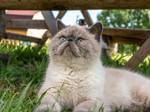 Exotic Shorthair  cat on nature. Stock Image