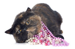 Exotic shorthair cat. With pearl collar in front of white background stock photography