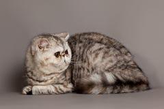 Exotic shorthair cat.  persian cat Stock Photos