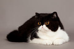 Exotic shorthair cat. persian cat. On grey background royalty free stock photography
