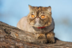 Exotic shorthair cat posing outdoors in summer. Tabby exotic shorthair cat outdoors stock images