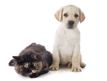 Exotic shorthair cat and puppy. Labrador retriever in front of white background royalty free stock photos