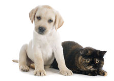 Exotic shorthair cat and puppy. Labrador retriever in front of white background stock photos