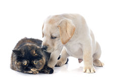 Exotic shorthair cat and puppy Royalty Free Stock Image