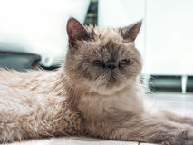 Exotic Shorthair cat. Royalty Free Stock Photography