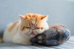 Exotic shorthair cat sleep on mackerel pillow. Adorable Brown Exotic shorthair cat sleep on big artificial mackerel fish bolster or pillow at gray sofa bed with Royalty Free Stock Images