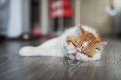 Free Exotic Shorthair Cat Sleep On Living Room Royalty Free Stock Photo - 154434325